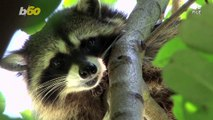 Operation Rescue Raccoon! Florida Police Free Raccoon Stuck in Vending Machine