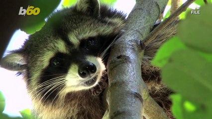 Operation Rescue Raccoon! Florida Police Free Raccoon Stuck in Vending Machine
