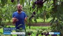 Occitanie : début de récolte pour la prune, fruit star de l'été