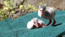Flamingo Chicks Learn to Walk
