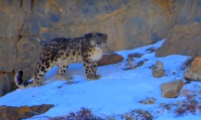 Snow Leopard of the Himalaya: most magnificent cat