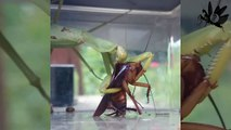 Mantis vs cockroach ! barata vs mantis | Gottesanbeterin vs Kakerlake