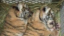 Deux bébés tigres, retrouvés dans un appartement en Autriche, sont accueillis au zoo de Schönbrunn