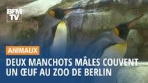 Au zoo de Berlin, un couple de manchots mâles couve un œuf