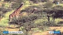 Afrique : la girafe, une espèce en danger