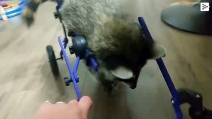 A sick racoon from Arkansas manages to move using a wheelchair