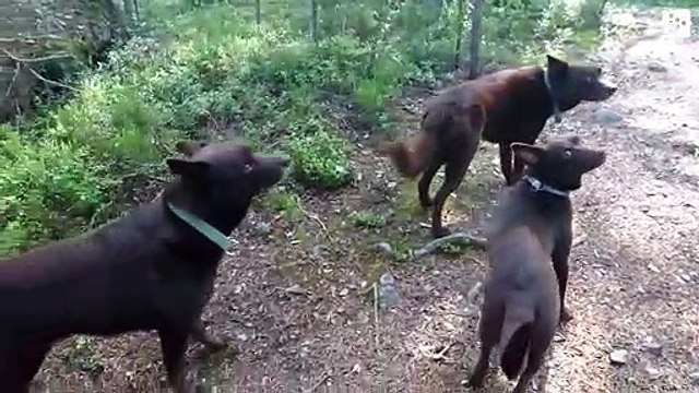 The curious video of three dogs that can remain motionless as statues
