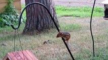 Chipmunk Tries Again and Again to Reach Bird Feeder