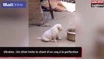Ukraine : Un chiot imite le chant d'un coq à la perfection (vidéo)