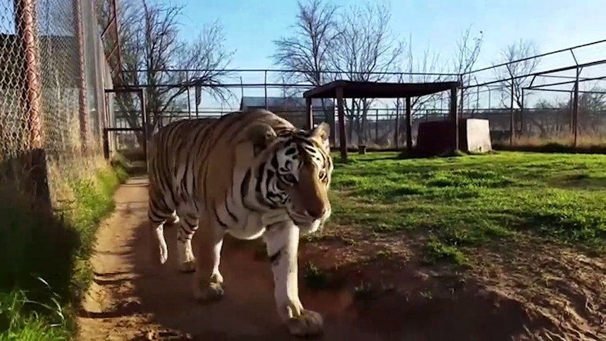 Funny Lion and Tiger Videos Weekly Compilation 2017 - Funny Pet Videos