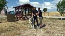 Fikret Orman'ın Kangal köpeği sevgisi