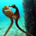 L'un des plus beaux moments jamais filmés ! Deux hippocampes en plein accouplement.⠀
