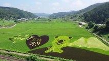 논에 그려진 한폭의 그림...유색 벼의 변신 / YTN