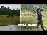 Cet alligator pourrait participer au championnat du monde d'escalade, la preuve