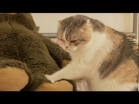 Chubby Scottish Fold Cat Gives a Bear a Full Body Massage