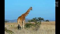 """Les girafes sont désormais menacées d'extinction """"silencieuse"""" en Afrique"""