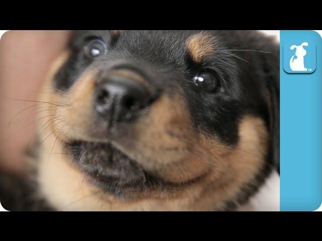 Cuddle With A Baby Rottweiler Puppy – Puppy Love