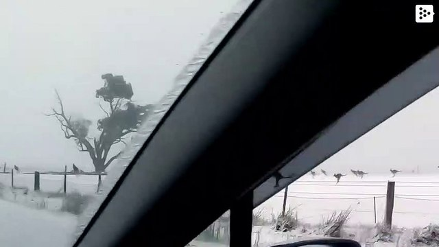 Kangaroos play in the snow of Australia after an unusual cold wave