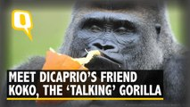 Remembering Koko, the 'Talking' Gorilla Who Was DiCaprio's Friend