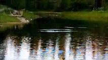 MCH 165 DUCKS PLAYING ON FISH POND,RED DEER PATH WAYS ALBERTA CANADA.
