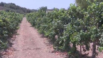La verde Galilea, epicentro del pujante sector del vino deIsrael
