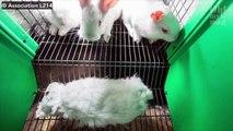 Cette vidéo dénonce les conditions d'élevage des lapins