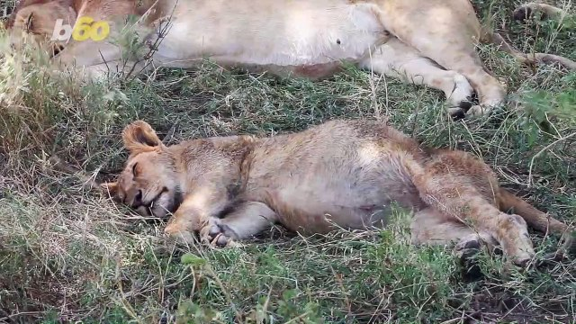Cuteness Overload! Newborn, Baby Lion Cub Filmed Nursing and Taking First Steps With Mom