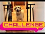 Golden Retriever Nails the Invisible Challenge