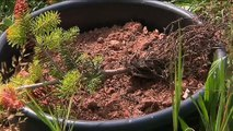 Vosges : les sapins sont victimes de la canicule
