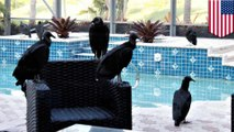 Vomiting, puking vultures take  over Florida neighborhood