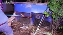 Ils sortent un serpent python de 5m de long d'un poulailler !