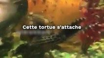 Cette tortue s'attache  littéralement à ce poisson !