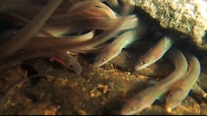 Calls for crackdown on illegal eel smuggling from Europe