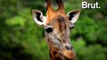 "Les girafes menacées d'""extinction silencieuse"""