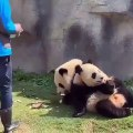 Ce panda n'en a jamais assez de manger. Regardez comment il en réclame encore !