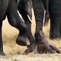 Observez cette maman éléphant aide son petit à se relever. Trop cute !
