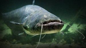 Les silures : les monstres des rivières !