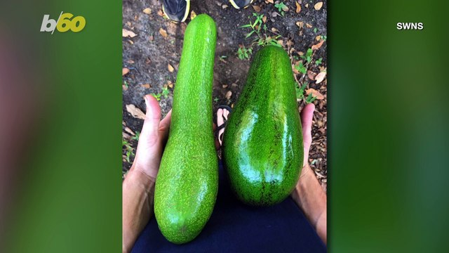 Colossal Fruits! Florida Fruit Company Grows Huge Avocados; Making Millennial Mouths Water!