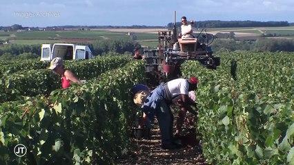 Vendanges : Les vignerons recherchent des saisonniers