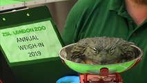 Pesée annuelle pour les animaux du zoo de Londres