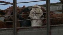 Uruguay, gruppo di vegani organizza veglia per mucche al macello