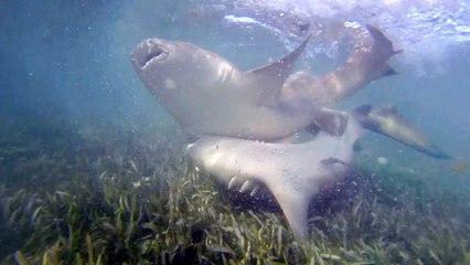 Découvrez la danse d'accouplement annuelle des requins nourrices