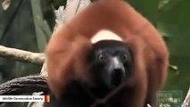 This Red-Ruffed Lemur Group Shriek Is Something Else