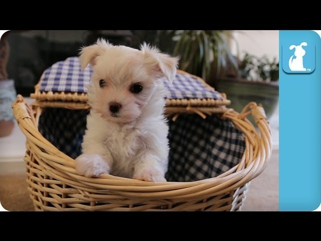 Maltese Puppy Can't Get Out Of The Basket - Puppy Love