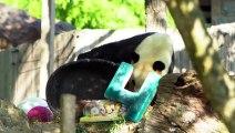باندا عملاق نادر يحتفل بعيده الرابع في حديقة حيوانات واشنطن