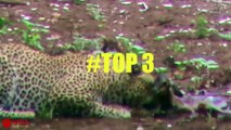 Lion Robbed Prey From Cheetah - Leopard Hunts Impala