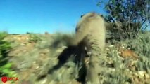 LION CUBS FAILED TO ESCAPE FROM ELEPHANT & CROCODILE - Lion Crossing River
