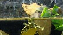 Var : des tortues très envahissantes