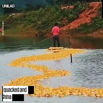 Guy Has An Army Of 5000 Ducklings Follow Him