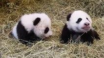Ces pandas âgés de trois mois vont vous séduire. Cute !